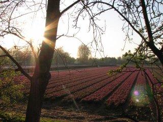 Lisse : champs de tulipe