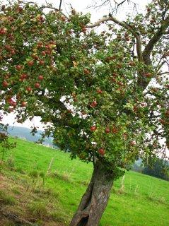 Pommes ardnenaises