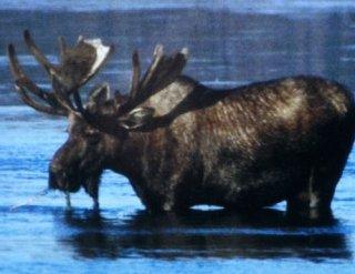 un élan du canada au monde sauvage d'aywaille
