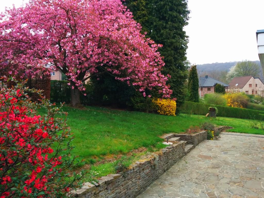 Début du printemps, le cerisier sera en fleur !