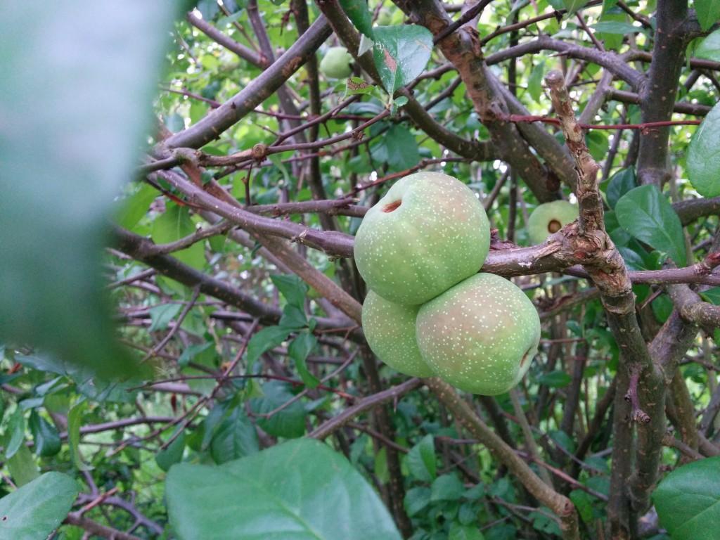 Mi juin, on voit apparaitre ces fruits, des pommes ?