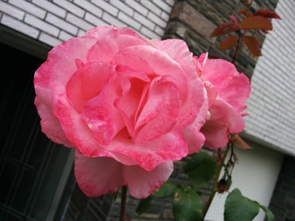 Devant la porte d'entrée, les Roses ont pris la pause !