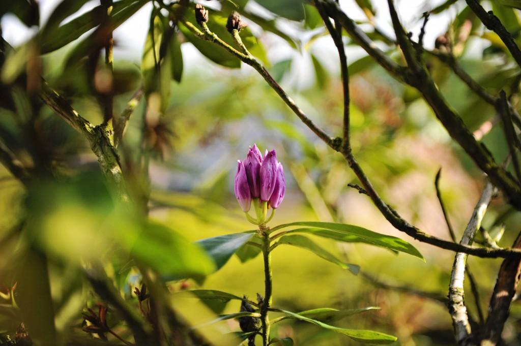A l'arrivée de Mai, c'est au tour du Rhododendron