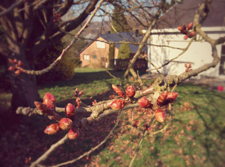 Le cerisier traine cette année