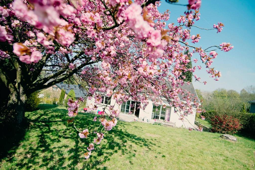 Notre jardin en rose - Cerisier du japon - 2015