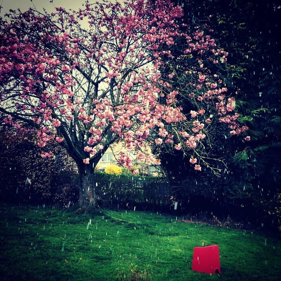 Avril 2016 - Notre cerisier du japon sous la neige