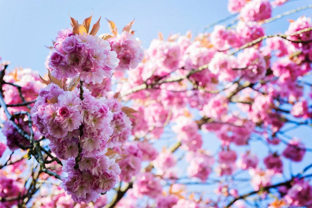 Notre jardin en rose - Cerisier du japon - 2016