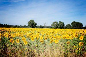 vacances 2016 - dans les champs de tournesol