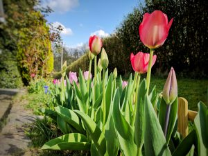 Les tulipes sont sorties !