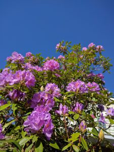 Mai 2017, le rhododendron est en fleur