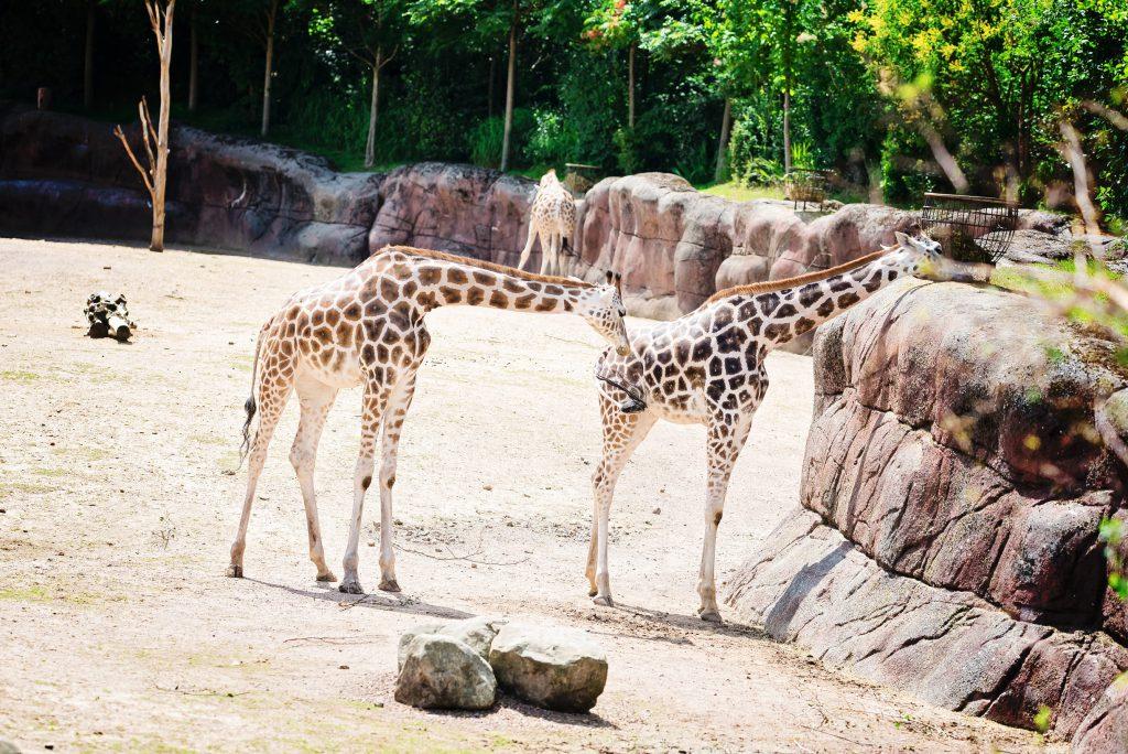 Ahaa, voici les giraffes ! – à GaiaZOO.