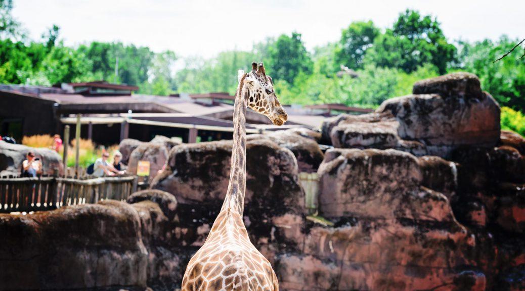 Ahaa, voici les girafes ! - Zoo Gaia