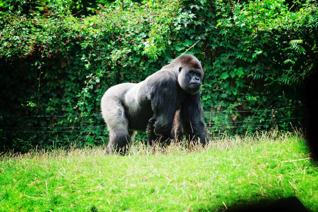 Ou un gorille... – à GaiaZOO.