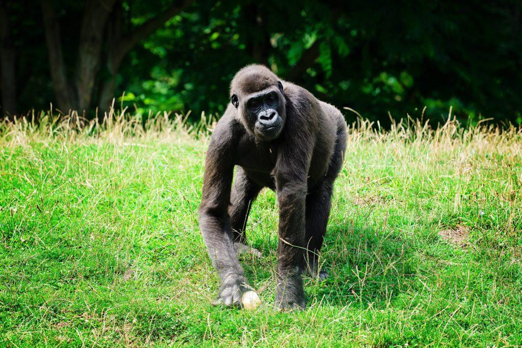 Et toute la bande de la planète des singes venues prendre son gouté ! – à GaiaZOO.