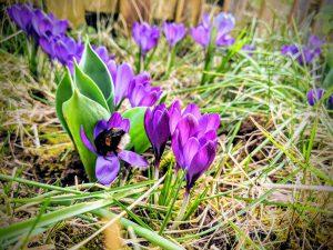Les premières fleurs du jardin