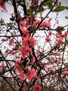Le cognassier commence à fleurir