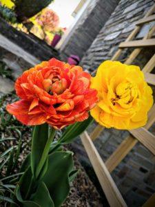 Fin avril, les Tulipes triples ont pris le relais