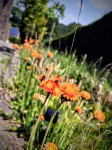 Plus de tulipes, mais il reste mes fleurs sauvages oranges...