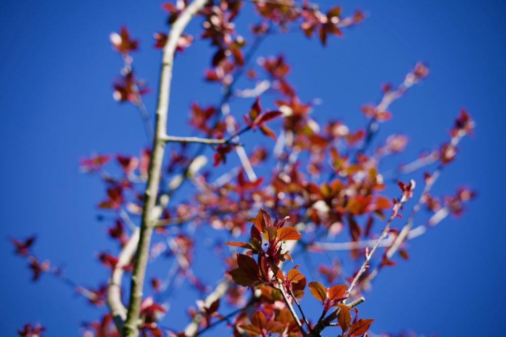 Alors, quand arriveront les fleurs du nouveau cerisier ?