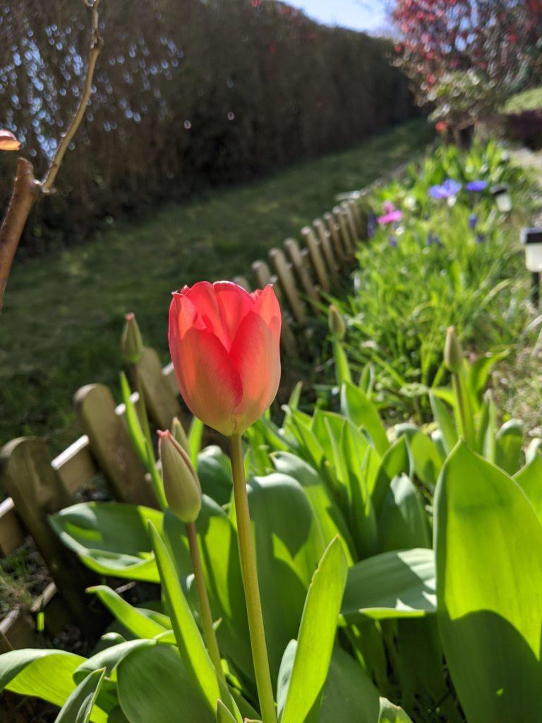 La première Tulipe de l'année