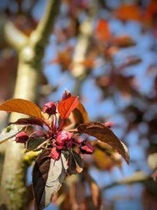 Alors, elles arrivent les premières fleurs du ceriser