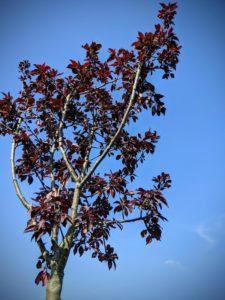 Le nouveau cerisier, mais où sont ses fleurs ?