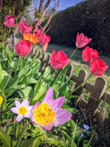 La 2° vague de tulipes