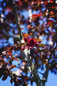 Ah, elles sont fuchsia-poupres les fleurs du nouveau cerisier