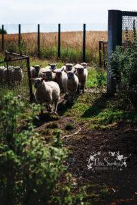Rose à la Ferme de Haya - Petite Snorkys Photography