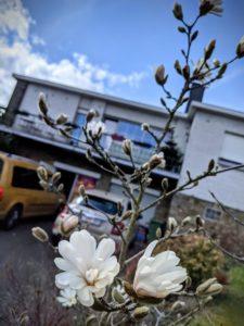 La magnolia inaugure le printemps 21